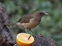 Clay-colored Thrush with Orange Royalty Free Stock Photos