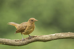 Clay-colored Thrush-Juvenile Royalty Free Stock Image
