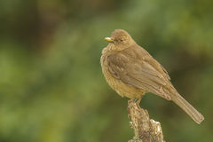 Clay-colored Thrush Royalty Free Stock Image