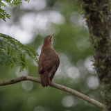The clay-colored thrush (Turdus grayi) Stock Photos