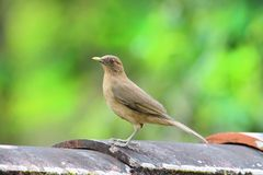 Clay-colored Thrush Turdus grayi on tiles. Clay-colored Thrush Turdus grayi on some roof tiles with a green background royalty free stock photography