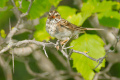 Clay-coloured Sparrow Stock Images