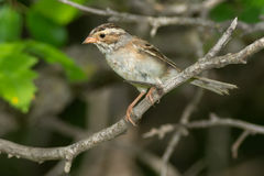 Clay-coloured Sparrow Royalty Free Stock Photography