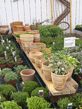Clay Flower Pots 1. Clay Flower Pots encircled by herbs in garden centre ready for sale Royalty Free Stock Image