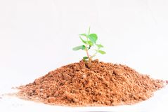Clay and little tree on white background. Clay little tree Royalty Free Stock Photo