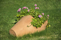 Clay pot with geranium blooming flowers Royalty Free Stock Image