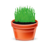 Clay pot with growing grass  Stock Images