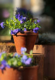 Clay pot with pansies Royalty Free Stock Photography