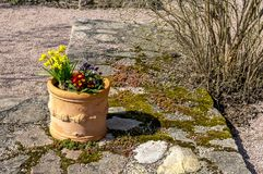 Clay pot planted with spring flowers in the spring sun. Royalty Free Stock Photo
