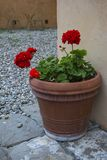 Clay pot with red flower. Ceramic pot of red geranium flower. Red flower stock images