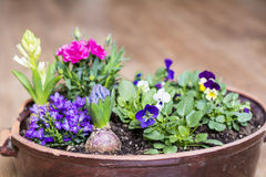 clay pot with spring flowers on a wooden background Stock Photography