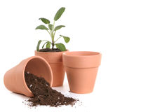 Clay Pots With Dirt and Seedling Stock Image