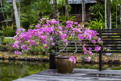 Clay vase with pink flowers in tropical garden next to the lake. Thailand. Chinese pottery with colorful pink flowers in tropical garden next to the lake, island Stock Image