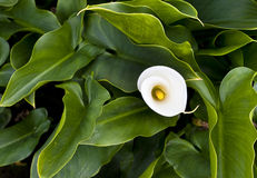 Clean beauty. Yangmingshan white calla lily in full bloom in spring Stock Photos