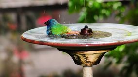 Clean Blue-faced Parrotfinch Bird Stock Images