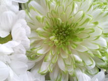 Clean and clear. Beautiful flower in green and white Stock Image