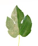 Clean & dirty. Partially cleaned leaf of street fig tree Stock Photos