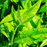 Clean dew drops on fresh green leaves royalty free stock image