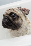 Clean Ears. A freshly washed pug dog in a bath tub Stock Photos