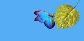 Clean environment concept. pure nature. blue morpho butterfly sitting on a golden leaf in water droplets. copy spaces. Clean environment concept. pure nature royalty free stock photography