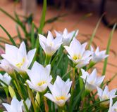 Clean flower 02 Stock Photography