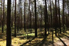 Clean green fir forest on a sunny day in spring or summer.  royalty free stock photo
