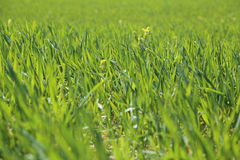 Clean green grass Stock Photo