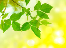 Clean green leaves Royalty Free Stock Photography