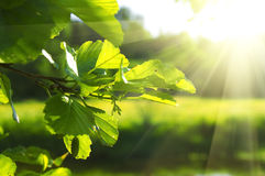 Clean green leaves. Clean green leaf highlighted by sun shallow focus Royalty Free Stock Image