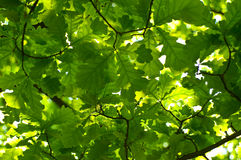 Clean green leaves Royalty Free Stock Photo