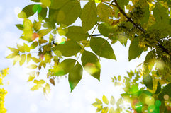 Clean green leaves, shallow focus Royalty Free Stock Photos