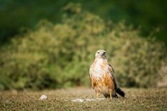 A clean image of long-legged buzzard or buteo rufinus portrait royalty free stock photo