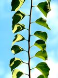 Clean leaves. Clean green leaves close-up with blue sky Royalty Free Stock Photo