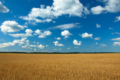 Clean oats field Stock Photos