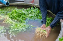Clean the parsley in a pot. Parsley blurred Royalty Free Stock Photography