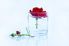 Clean, pure, clear water and a red rose Stock Image