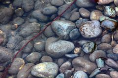 Clean rivers flow down from mountains, rapids and bar gravels. Clean rivers flow down from mountains, rapids and shoals of pebbles (bar gravels Stock Photo