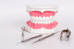 Clean teeth denture, dental jaw model Stock Photo