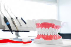 Clean teeth denture, dental jaw model and toothbrush in dentist's office. Royalty Free Stock Photography