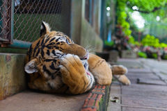 Clean Tropical Orange Striped Tiger Paw in Tiger Temple Thailand. North Chang Mai stock photos
