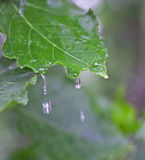 Clean water drips from young leaf. Young leaves grew this spring. It is clean, fresh and has a rich green color. Clean water drips from young leaf Royalty Free Stock Photo