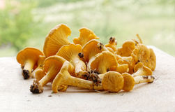 Cleaned group of chantarelles on a breadboard Stock Photos