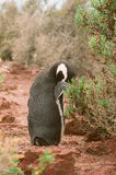 Cleaned Magellanic penguins, Argentina Stock Photography