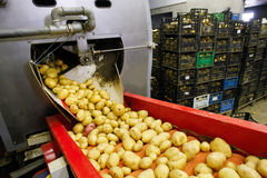 Cleaned potatoes on conveyor belt. Cleaned potatoes on a conveyor belt, prepared for packing Royalty Free Stock Photo