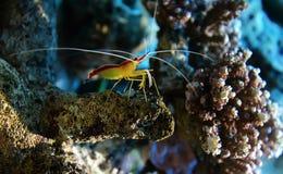 Cleaner shrimp. Ð¡oral shrimp in its natural habitat. The northern cleaner shrimp stock image