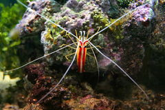 Cleaner shrimp. The northern cleaner shrimp, Lysmata amboinensis, is an omnivorous shrimp species, which will generally scavenge and eat parasites and dead royalty free stock photo