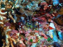 Cleaner shrimp stock images