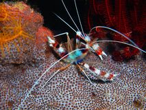 Cleaner shrimp royalty free stock photo