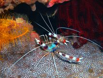 Cleaner shrimp royalty free stock image