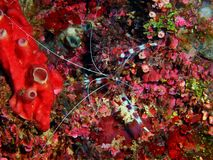 Cleaner shrimp royalty free stock images
